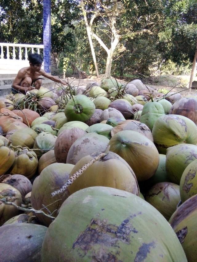 'Giá dừa khô tại Bến Tre đang bị thương lái ép giá với lý do trái dừa xấu do ảnh hưởng của hạn, mặn'
