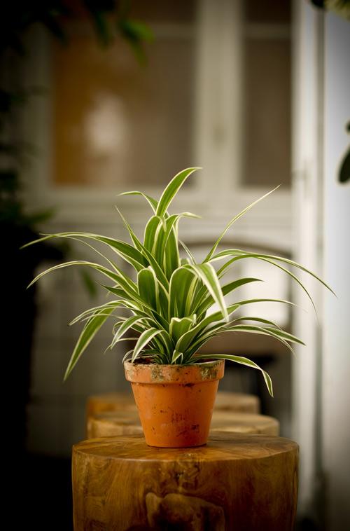 9 loại cây cảnh hút khí độc cực tốt - 12