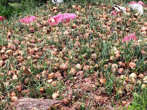 Nông dân Đà Lạt đổ bỏ hành tây hồi tháng 5 và 6