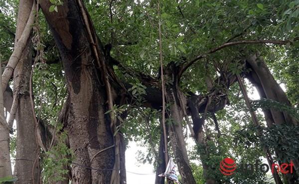 Ngoài thân chính đường kính hơn 2m, cây có 5-6 rễ phụ, có rễ vừa hai người lớn ôm.