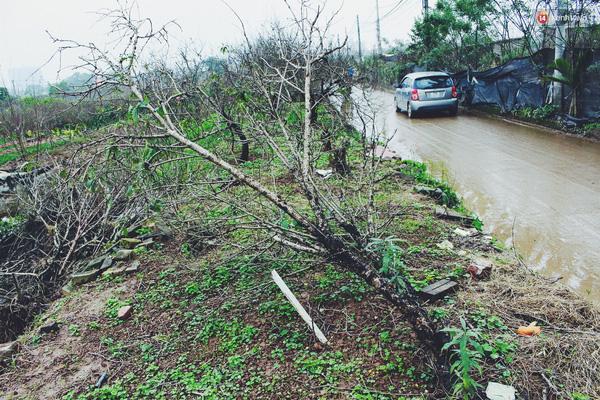 Một số cành đào của gia đình chị Hoa bị chết đã được cắt bỏ vứt ra rìa đường.