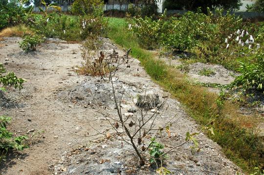 Vườn ổi của bà Hồng trụi lá vì nắng hạn gay gắt