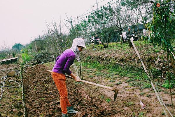 Chị Hoa cho biết, hoa đào nhà chị nở sai dịp nên đã bán sớm cho thương lái với giá rẻ. hiện tại chị đang làm đất để trồng các loại hoa khác, phục vụ các dịp lễ, Tết khác trong năm.