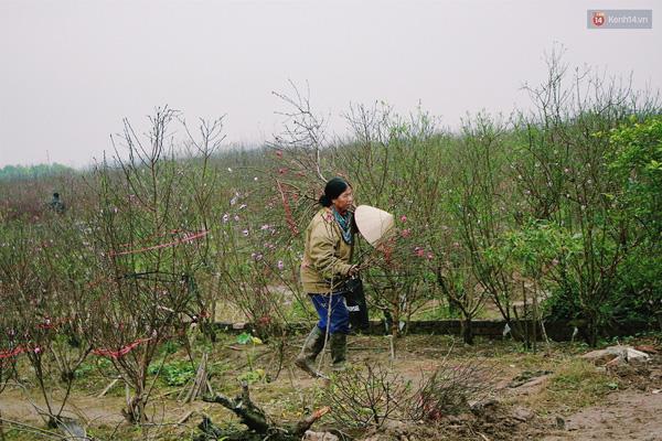 Nhiều hộ dân có ruộng hoa đào lơ thơ, chất lượng kém, nhiều cây bị chết và số khác ra hoa nhưng không đẹp, phải bán rẻ.