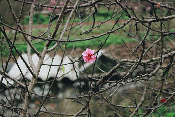 Những bông hoa đào nở le lói trên cành khô cứng như củi đã bị cắt bỏ.