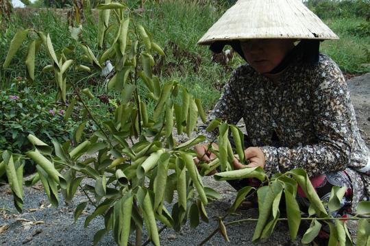 Không riêng cây ổi mà cam, chanh, lúa, hoa màu cũng chết khô khiến nông dân điêu đứng.