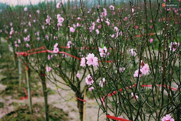Những hộ dân năm nay có đào nở hoa trúng dịp Tết đều thắng lớn vì bán được giá cao hơn mọi năm.