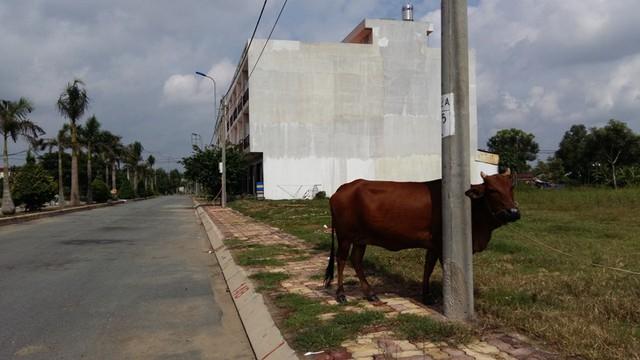 Bò được chăn thả ngay trong lòng khu dân cư Phúc Long.