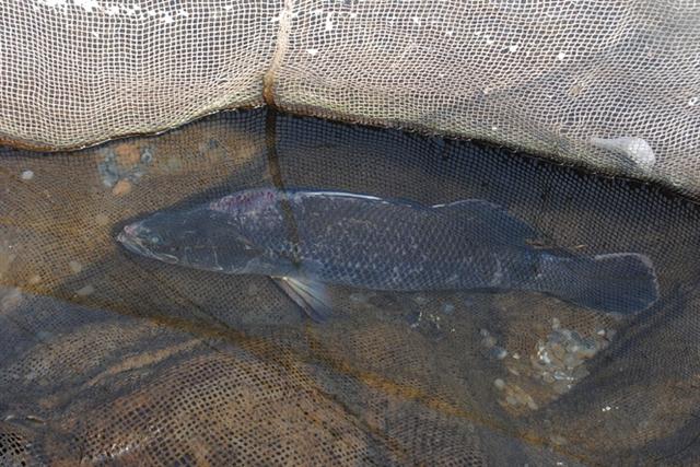 Con cá vược thương phẩm duy nhất sống sót được ông Huệ bắt thả vào lưới