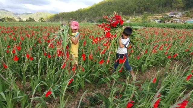 Gom hoa layơn nở trước tết bị bỏ ngoài đồng về cho bò sữa ăn tại xã Hiệp An, Đức Trọng, Lâm Đồng (ảnh chụp chiều 27-1) - Ảnh: C.Thành