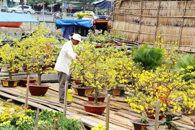 Một chủ nhà vườn đang chăm sóc những chậu mai nở sớm tại chợ hoa bến Bình Đông Q8, TPHCM