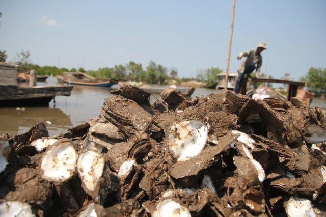 Hàu chết chất đống bên bờ, nông dân thiệt hại ước tính hàng chục tỉ đồng - Ảnh: Mậu Trường