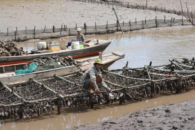 Ông Nguyễn Văn Chánh, ngụ ấp Thừa Thạnh, bị thiệt hại 10 tấn hàu, tương đương 200 triệu đồng - Ảnh: Mậu Trường