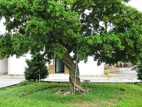 Kết quả hình ảnh cho cây nguyệt quế