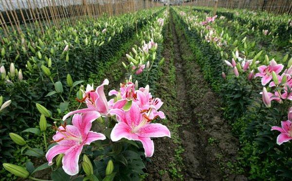 Trồng hoa ly lãi 500 triệu đồng/năm
