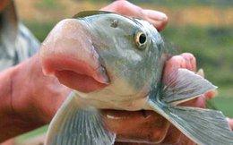 Lấy may, đại gia xài 500 con cá Anh Vũ mỗi tháng