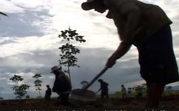 Bầu Đức: Trồng cao su từ đất rừng buộc phải khai hoang, chặt cây