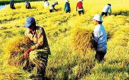 """Lương """"sếp"""" Công ty lương thực nhà nước: 200 tấn lúa"""