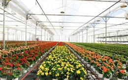 Nông trại hoa lớn nhất Việt Nam nhộn nhịp làm hoa Tết