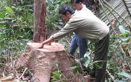 Ai đã xóa sổ 130.000 ha rừng Tây Nguyên?
