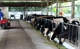 Cận cảnh nghề nuôi bò sữa ở đất thép Củ Chi