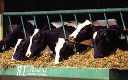 Đến lượt Đức Long Gia Lai đầu tư đến 11.000 tỷ đồng chăn nuôi bò