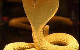 Chiêm ngưỡng rắn bằng vàng thật hơn 150 triệu đồng