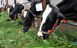 Nuôi bò mang sữa tưới gốc cao su