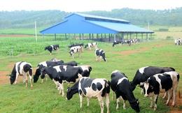 30 năm nữa chăn nuôi bò sữa Việt Nam mới bằng nổi Đài Loan