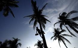 Khủng hoảng cây dừa tại châu Á