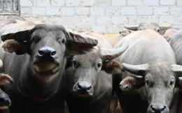 Ngành nuôi trâu Úc hồi sinh nhờ... Việt Nam