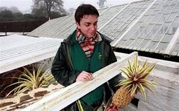 Hơn 300 triệu đồng cho một quả dứa nhiệt đới trồng tại Anh