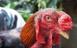 3 triệu đồng/con gà tiến vua, muốn mua phải chờ đến Tết